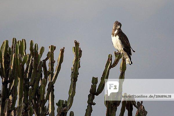 schwarz hocken - Tier Masai Mara National Reserve Adler Kenia