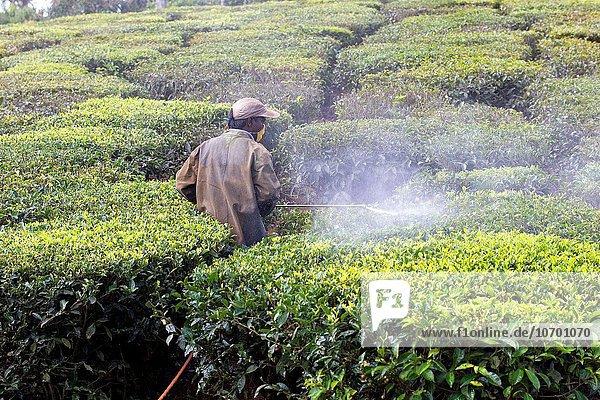 Berg Hügel Asien Indien Tamil Nadu Teeplantage