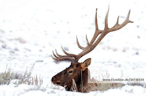 Vereinigte Staaten von Amerika USA Elch Elche Alces alces Bulle Stier Stiere Bullen Yellowstone Nationalpark