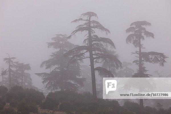 Nordafrika Fès Fez Nationalpark Baum Wald Nebel Mittelpunkt Zeder Fes Marokko