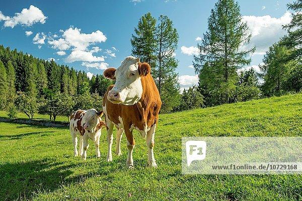 Hausrind Hausrinder Kuh Slowenien