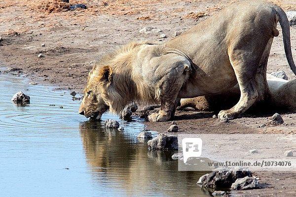 Nationalpark Raubkatze Löwe Panthera leo trinken Namibia Etoscha Wildpark Etosha Afrika Löwe - Sternzeichen Wasserstelle