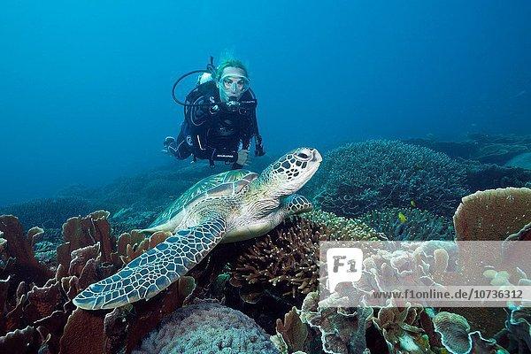 Wasserschildkröte Schildkröte Suppenschildkröte Chelonia mydas grün Taucher Indonesien Komodo-Nationalpark