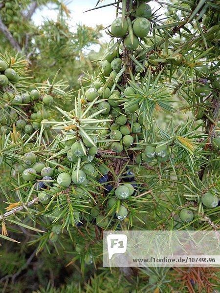 Gemeiner Wacholder Juniperus communis Heide-Wacholder