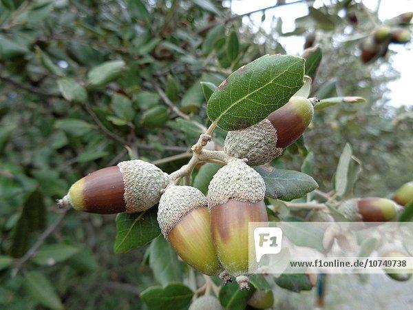 Quercus ilex.