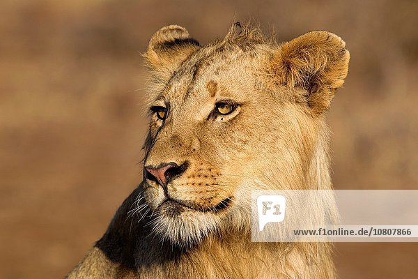 African lion (Panthera leo) - Young male  Kruger National Park  South Africa.