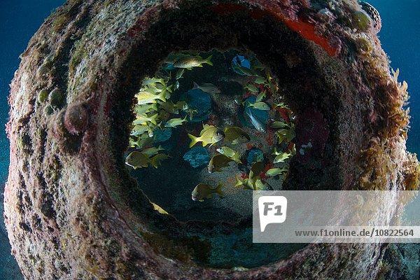 Unterwasserblick durch das künstliche Riff der bunten Fische  Insel Cozumel  Mexiko