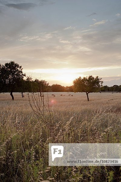 Distant sheep grazing in wheat field at sunset  Majorca  Spain