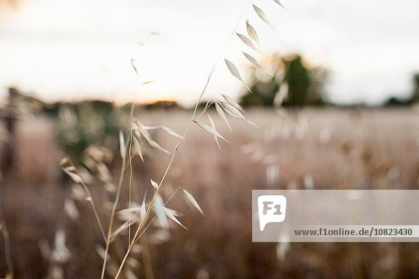 Weizenschließung im Weizenfeld
