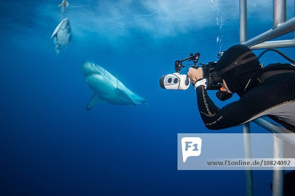 Photographer leaning towards a white shark (Charcharodon carcharias) during a baited cage dive  Guadalupe Island  Mexico