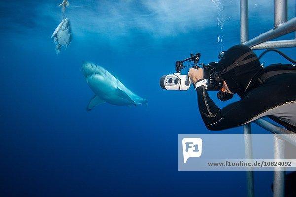 Fotograf  der sich einem weißen Hai (Charcharodon carcharias) während eines Ködertauchgangs nähert  Guadalupe Island  Mexiko