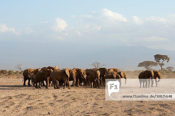 Afrikanische Elefanten (Loxodonta africana)  Amboseli Nationalpark  Kenia  Afrika