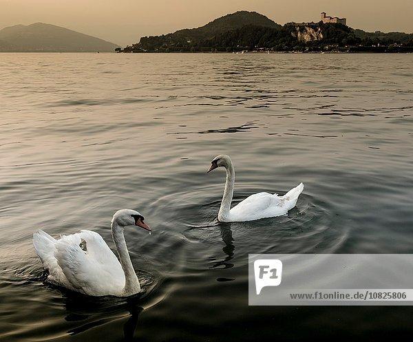 Schwäne auf dem Wasser  Lago Maggiore  Piemont  Lombardei  Italien