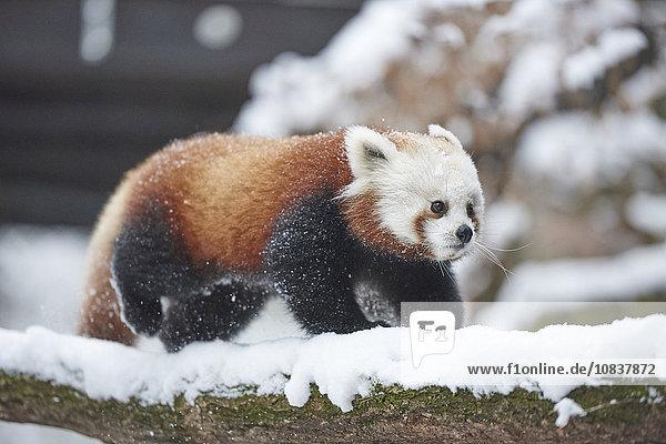 Kleiner Panda  Ailurus fulgens  im Schnee  Deutschland  Europa Kleiner Panda, Ailurus fulgens, im Schnee, Deutschland, Europa