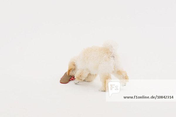 Medium Poodle