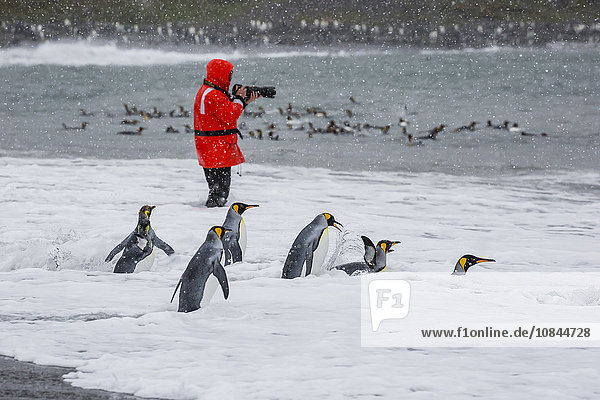 Adult king penguins (Aptenodytes patagonicus) going to sea at St. Andrews Bay  South Georgia  Polar Regions