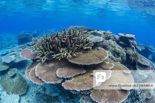 Underwater profusion of hard plate corals at Pulau Setaih Island  Natuna Archipelago  Indonesia  Southeast Asia  Asia