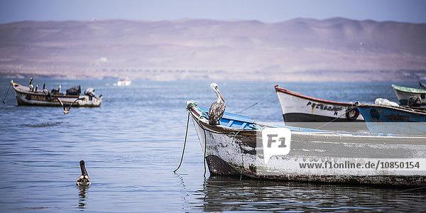 Peruvian pelican (Pelecanus Thagus)  Paracas  Ica  Peru  South America
