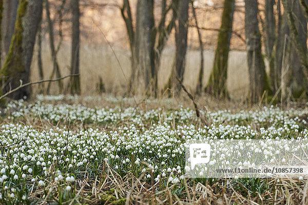 Großes Schneeglöckchen  Leucojum vernum  Oberpfalz  Bayern  Deutschland  Europa