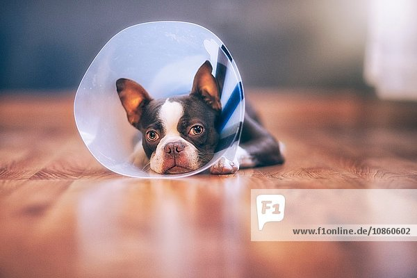 Boston Terrier puppy wearing pet cone