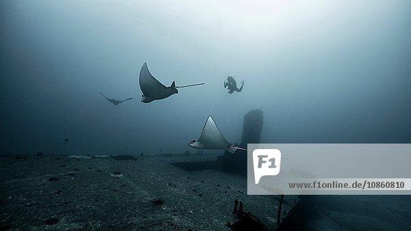 Eagle rays gliding over shipwreck  Cancun  Mexico
