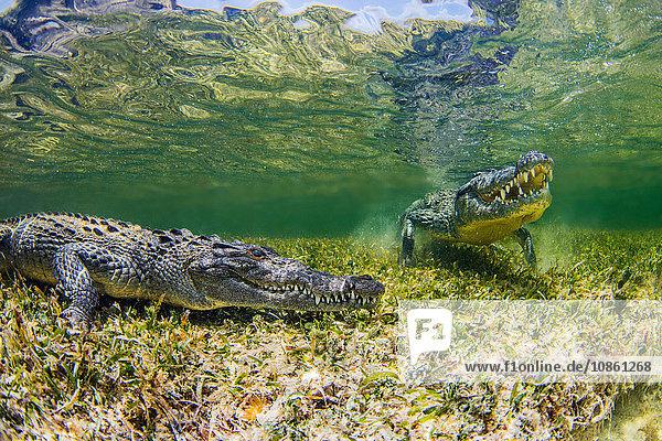 Unterwasseransicht von zwei Krokodilen auf einem Riff  Chinchorro Banks  Mexiko