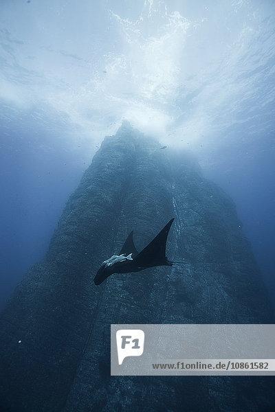 Black giant Manta (Manta Birostris) swims past iconic vertical walls of Roca Partida