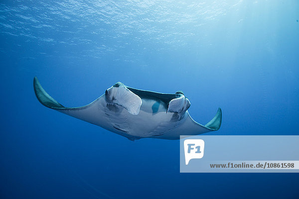 Der Riesenmanta (Manta Birostris) gleitet anmutig aus dem tiefen Blau an die Oberfläche