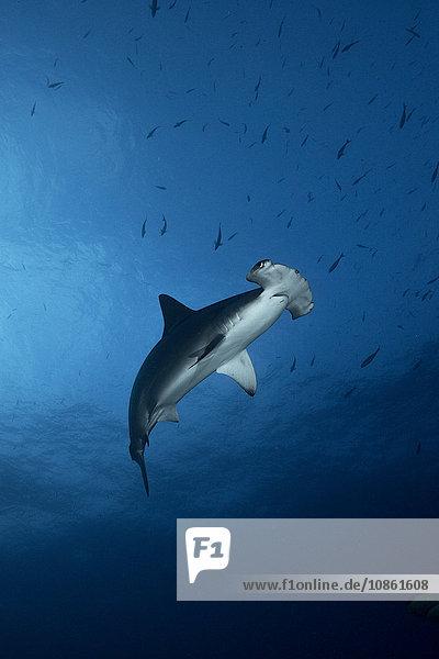 Tiefblick auf den schwimmenden Hammerhai (Sphyrna Lewini)
