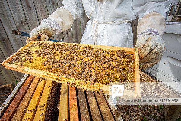 Imker hält Bienenstockrahmen mit Bienen  Mittelteil