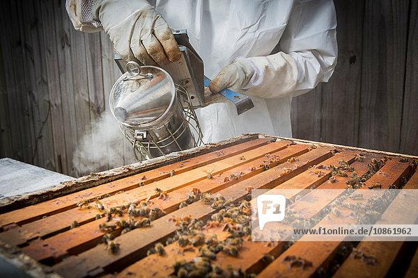 Imker rauchende Bienen im Bienenstock  mittlerer Abschnitt