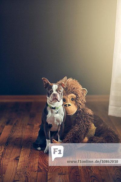 Stuffed monkey toy hugging Boston Terrier dog