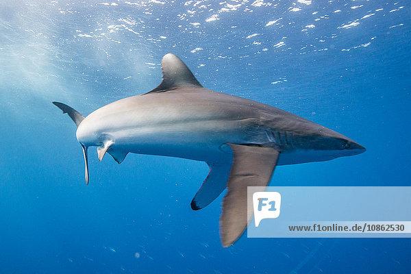 Der Seidenhai (Carcharhinus falciformis) zeigt ein betontes Verhalten: gewölbter Körper und nach unten gerichtete Brustflossen. Dieser Zustand kann bei der Jagd beobachtet werden  San Benedicto  Colima  Mexiko