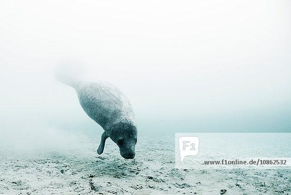 Westindische Seekuh (trichechus manatus) schwimmt  um frisches Wasser aus Unterwasserquellen auf dem Meeresboden zu trinken  Biosphärenreservat Sian Kaan  Quinta Roo  Mexiko