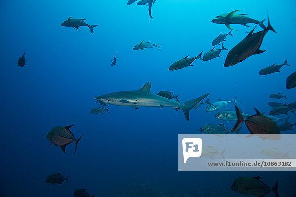Unterwasser-Ansicht eines Schwarmes von Seidenhaien (carcharhinus falciformis) San Benedicto  Revillagigedo  Colima  Mexiko