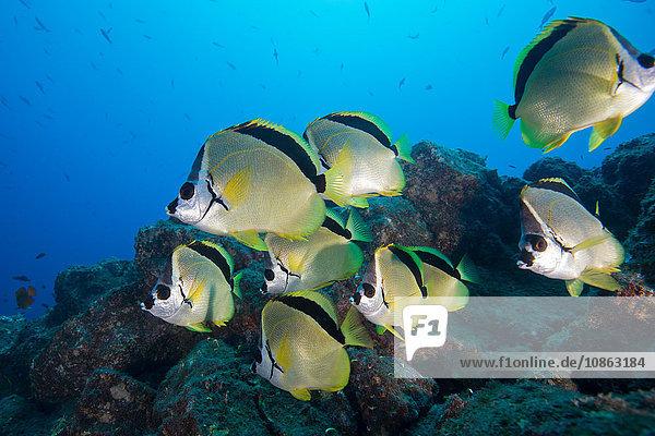 Unterwasser-Seitenansicht eines Schwarznasen-Barberfisches (Johnrandallia nigrirostris) San Benedicto  Revillagigedo  Colima  Mexiko