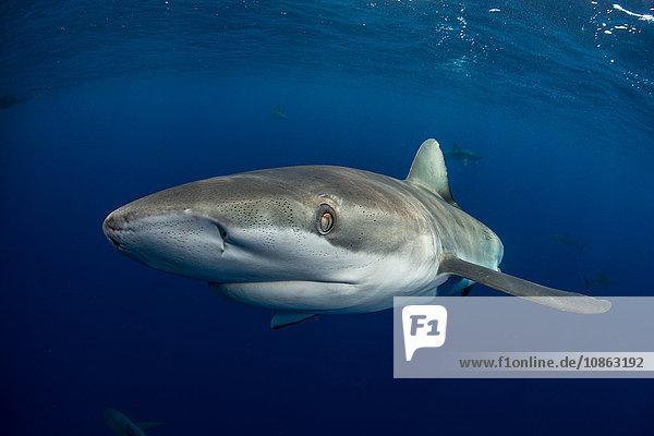Unterwasseransicht des Galapagos-Haies (carcharhinus galapagensis) mit Blick in die Kamera  Socorro  Revillagigedo  Colima  Mexiko