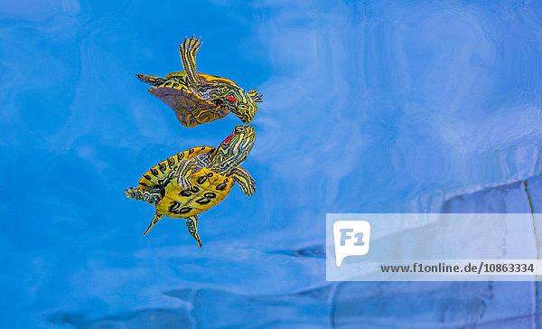 Rotohrschieber  Süßwasserschildkröte  Liga City  Texas  USA