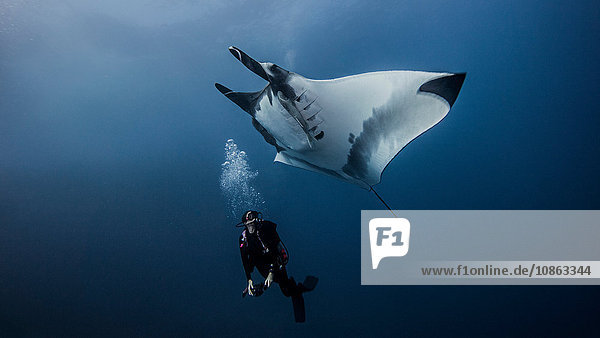 Giant Ocean Manta Ray with scuba diver at Roca Partida Island  Socorro  Mexico