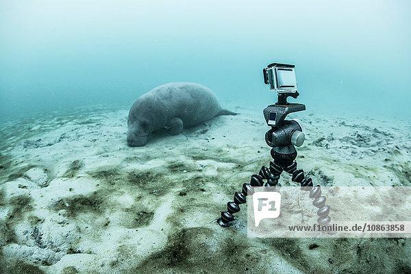Unterwasserkamera auf Stativ filmt schlafende Seekuh  Biosphärenreservat Sian Kaan  Quintana Roo  Mexiko