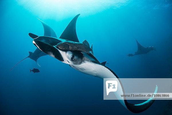 Riesige Mantas (Manta birostris) versammeln sich um Seeberge  um von anderen Fischen von Parasiten gereinigt zu werden  Insel San Benedicto  Kolima  Mexiko