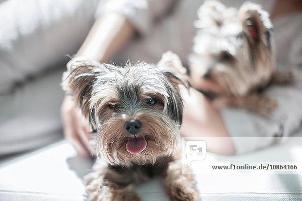 Haushunde und Besitzer auf dem Sofa liegend
