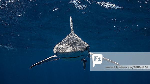 Sandbankhai schaut in die Kamera