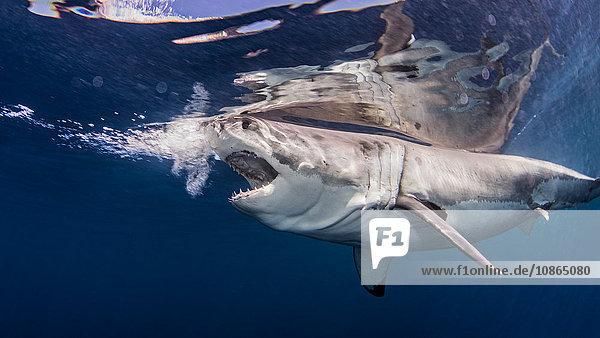Weißer Hai in der Nähe der Wasseroberfläche