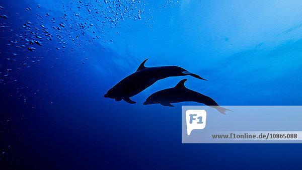Niedrigwinkel-Silhouette von Flaschennasen-Delphinen