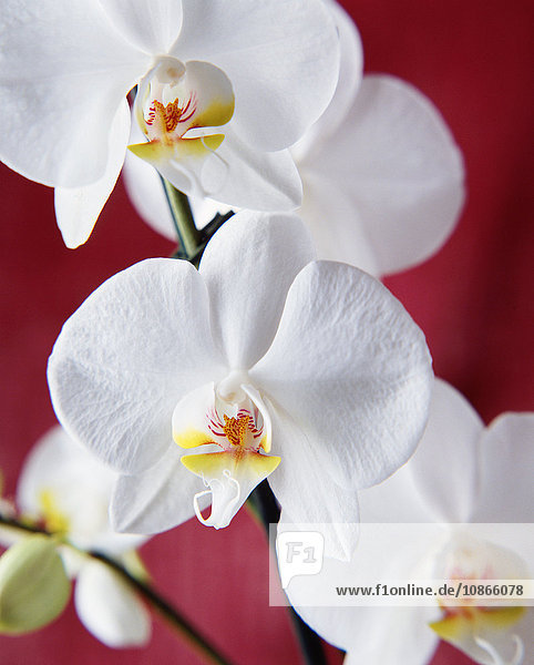 Nahaufnahme von weißen Orchideen