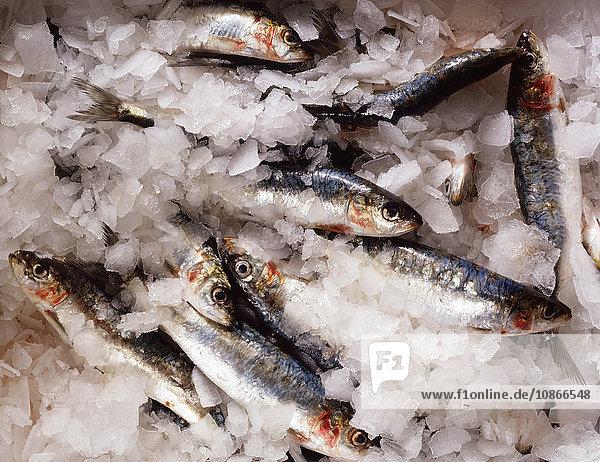 Fresh sardines in ice  close-up