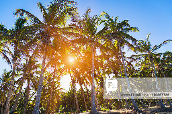 Sonnenbeschienener Palmenwald am Strand  Dominikanische Republik  Karibik