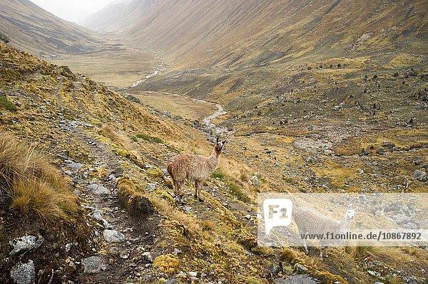 Lamas beim Aufstieg zum Bergpass von Abra Tirihuayjasa  Peru