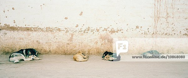 Street dogs sleeping in small market town  Bolivia